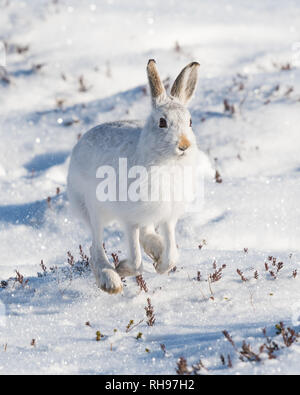 Mountain Hare - Lepus timidus - running towards the camera - in the Cairngorms National Park, Scotland, UK - Stock Image
