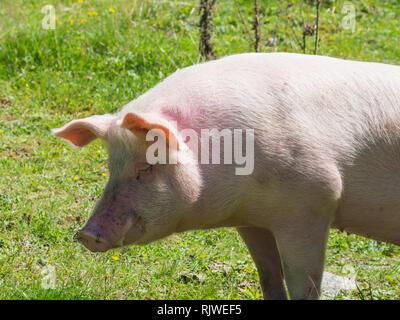 Pig on pasture - Stock Image