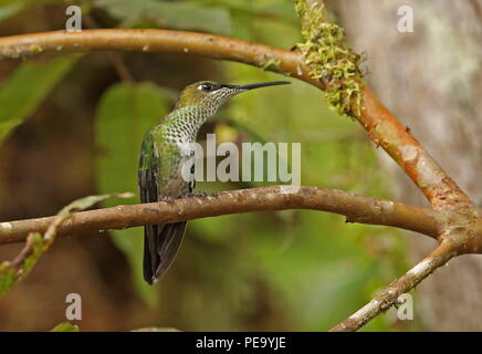 Violet-fronted Brilliant (Heliodoxa leadbeateri sagitta) adult female perched on twig  Copalinga Lodge, Zamora, Ecuador                    February - Stock Image