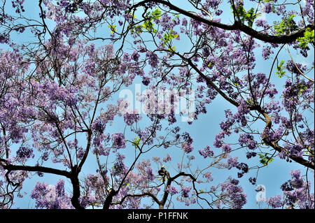 Jacaranda mimosifolia, Blue Jacaranda; Myrtle Street, Santa Ana, CA; 080528_30485 - Stock Image