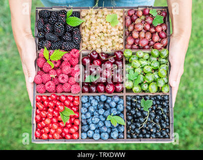 Wooden box with berries in female hands. Top view. - Stock Image