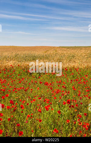Red Poppies, Golden Wheat and Blue Sky - Stock Image