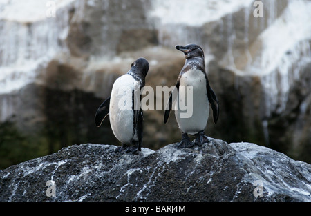 Galapagos Penguins, Spheniscus mendiculus, Punta Vicente Roca, Isabela (Albermarle) Island, Galapagos Islands, Ecuador - Stock Image