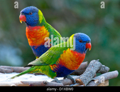 Two Lorikeet's on a feeding table Australia - Stock Image