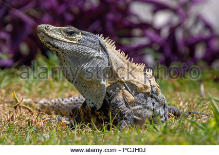 Ctenosaura similis, known as the black spiny-tailed iguana, black iguana, or black ctenosaur - Stock Image