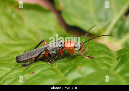 Soldier Beetle (Cantharis pellucida) at rest on dock plant. Tipperary, Ireland - Stock Image