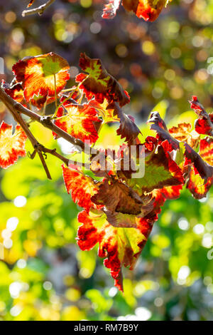 Autumn colorful leaves of grape plants close-up in sunny day - Stock Image