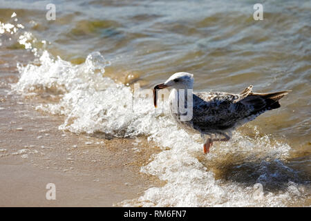 A seagull in shallow water holds something in its bow. It is observed at the Baltic Sea coast in Poland in Kolobrzeg - Stock Image