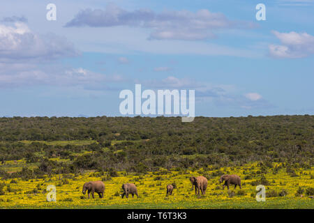 African elephants (Loxodonta africana) in springflowers, Addo elephant national park, Eastern Cape, South Africa, September 2018 - Stock Image