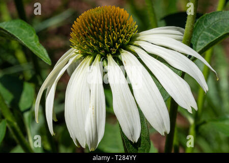 Coneflower (Echinacea purpurea), flowers of summer - Stock Image