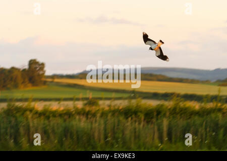 Lapwing flying over Steart Salt Marsh on a summer evening. - Stock Image