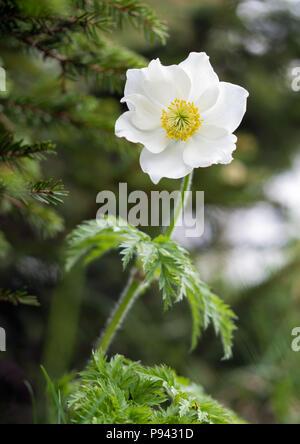 Mountain Anemone Narcissiflora - Stock Image