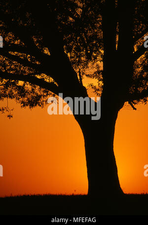 SUNRISE AND WILLOW TREE USA. - Stock Image