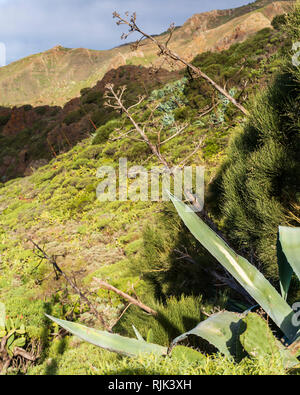 Agave americana cactus leaves and flower stalks in the Masca valley, Tenerife, Canary Islands, Spain - Stock Image