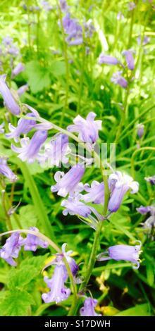 Bluebell woods. - Stock Image