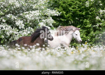 Falabella Miniature Horse. Black and amber champagne horse galloping on a pasture. Switzerland - Stock Image