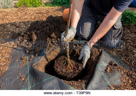Gardener planting an apple tree in to a prepared hole - variety is Bramley - Stock Image