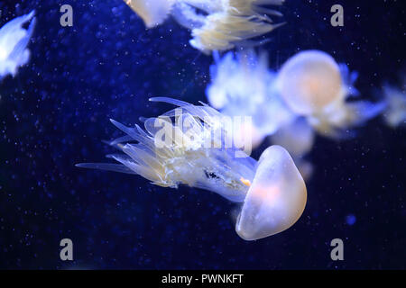 Gelly-fish - Stock Image