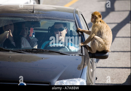 Adult Gibraltar Ape sitting on a car wing mirror - Stock Image
