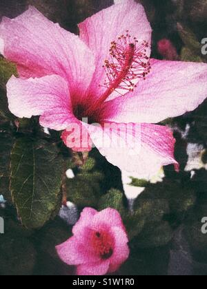 Pink hibiscus flower with grunge texture - Stock Image