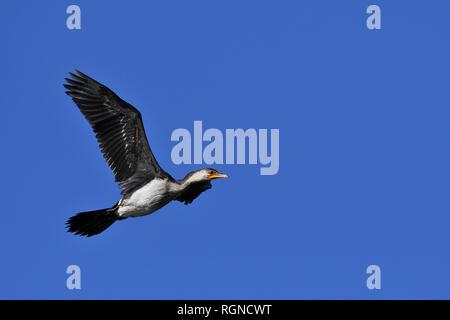 An Australian, Queensland Little Pied Cormorant ( Phalacrocorax melanoleucos ) flying by - Stock Image