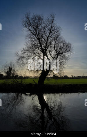 Back lit tree in winter with low sun - Stock Image