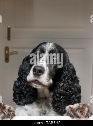 springer spaniel, male adult aged 10, jumping up barking at interior stable door - Stock Image