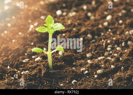 new seedling growing in fertile soil closeup - Stock Image