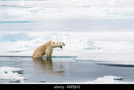 Polar Bear, Spitsbergen. - Stock Image