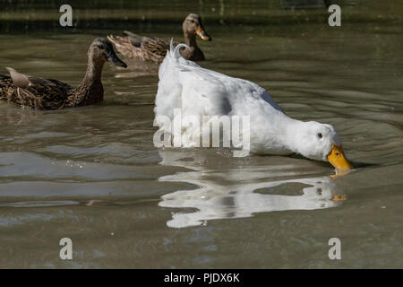 Large white Pekin Duck searching for food in shallow water as two female mallard ducks look on - Stock Image