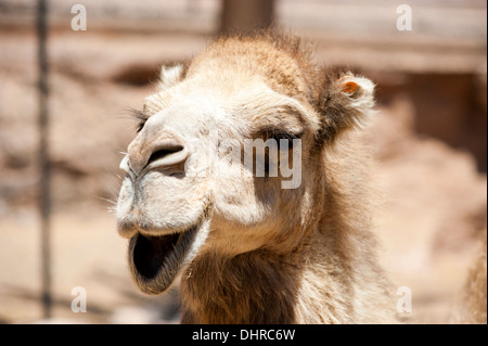 camel close up with open mouth - Stock Image