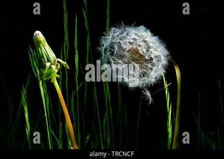 A still life close up of a white circular dandelion seed head, also known as a dandelion clock next to unopened dandelion and a black background, elev - Stock Image