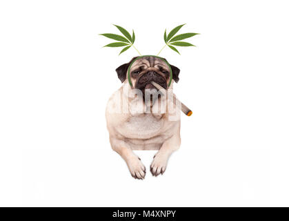 pug puppy dog being high, smoking marijuana weed joint, wearing hemp leaves diadem, isolated on white banner - Stock Image