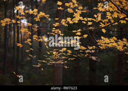 Autumn Maple Tree with Golden Leaves - Stock Image