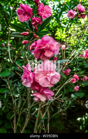 Delicate fragrant terry beautifully blooming flowers of pink oleander on the background of green leaves in the garden - Stock Image