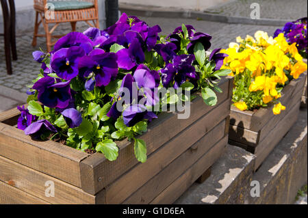 Abloom pansies outside decoration, flowering purple and yellow plants growing in wooden long flower box, Viola blooming - Stock Image
