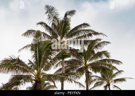 The tops of a stand of palm trees, Maui - Stock Image