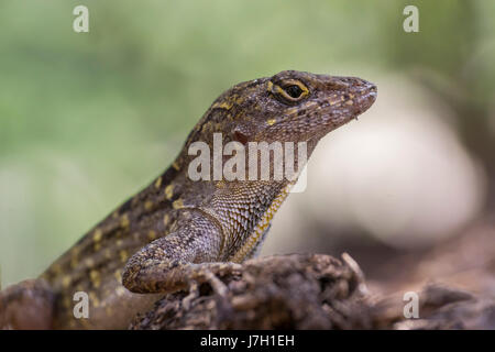 Cuban brown anole - Stock Image