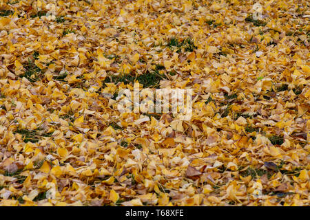Abstract composition large copy space and background composed of gingko leaves on the ground in the Autumn - Stock Image