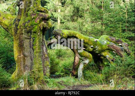 knorrige Buche mit großem abgebrochenen Ast, Grüntöne, Im Hohen Venn, Belgien - Stock Image