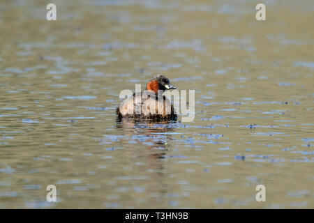 Little grebe (Tachybaptus ruficollis) also known as a dumpy fluffy grebe - Stock Image