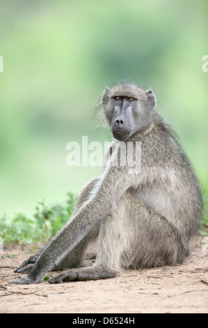 Chacma baboon Papio ursinus sitting in a clearing sideways on looking into the lens - Stock Image
