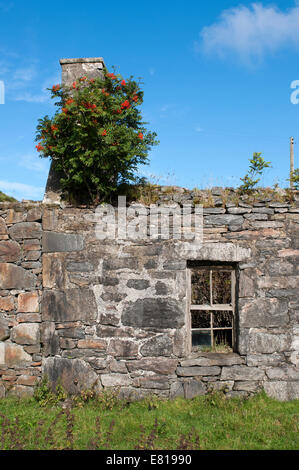 Old croft house on the Isle of Lewis with Rowan trees growing out of the walls - Stock Image