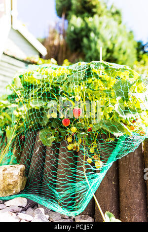 Strawberries, strawberry plants, strawberry plant, strawberry net, strawberry plant garden, strawberry, strawberry fruit, net, netted, plant, plants, - Stock Image