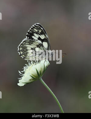 Marbled white Feeding on flower Hungary June 2015 - Stock Image