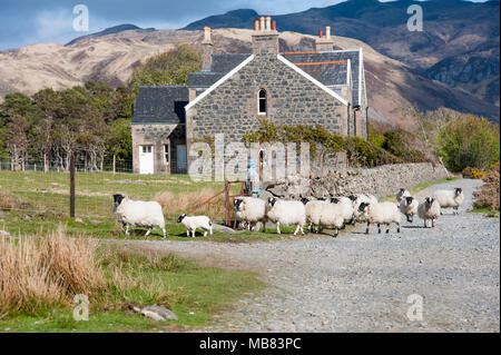 Sheep walking past house on the beach at lochbuie on the Isle of Mull. - Stock Image