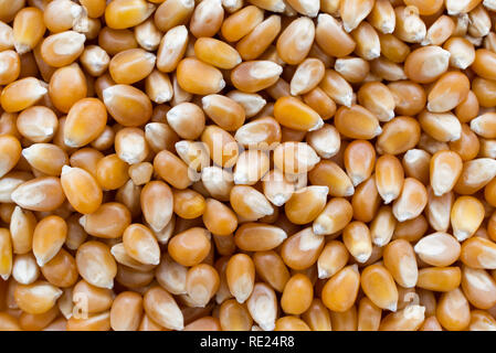 Popcorn maize close up abstract background. - Stock Image