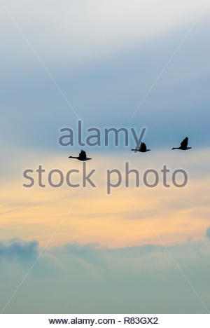 Flock of Canada Geese Branta canadensis flying in formation - Stock Image