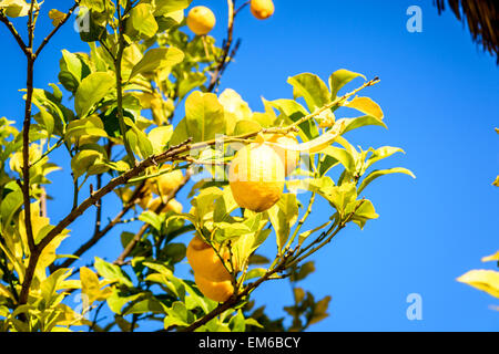 Lemon tree and blue sky in Botanical garden in Lisbon - Stock Image