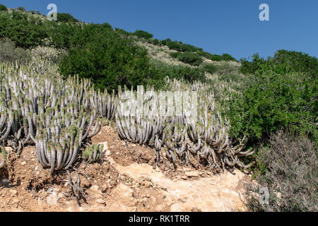 Euphorbia echinus growing on hillside amongst other vegeationa in arid conditions, Agadir, Morocco - Stock Image